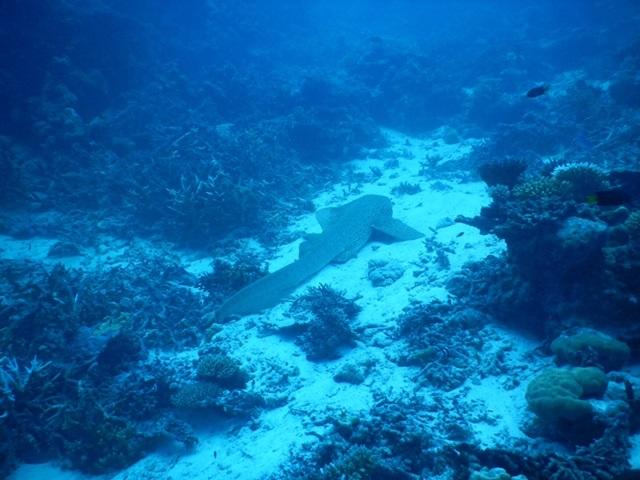モルディブでダイビング中に遭遇したサメ