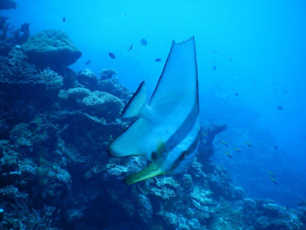 ダイビングで見たモルディブのカラフルな魚