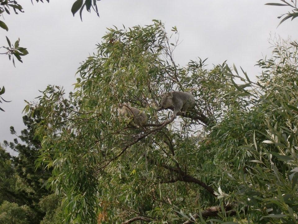 マグネティック島のコアラとロックワラビー