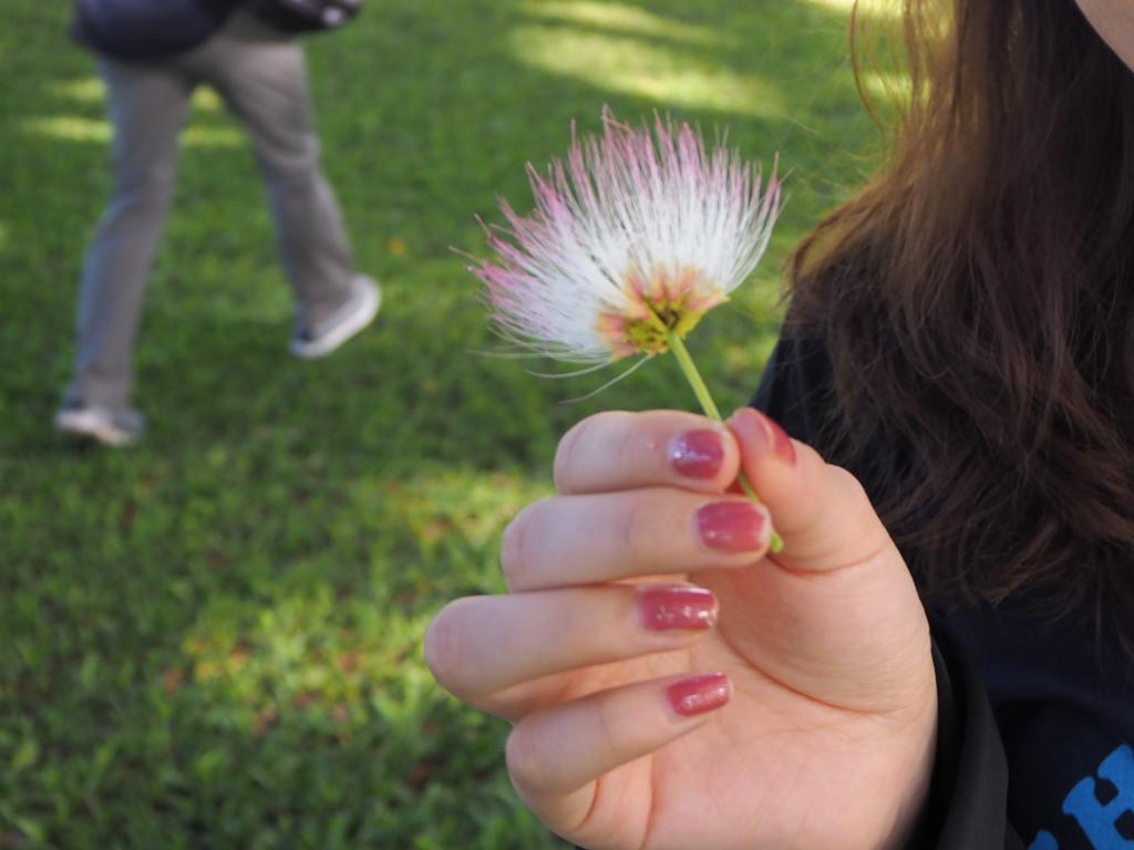 モアナルアガーデンパークのこの木なんの木、モンキーポッドの花