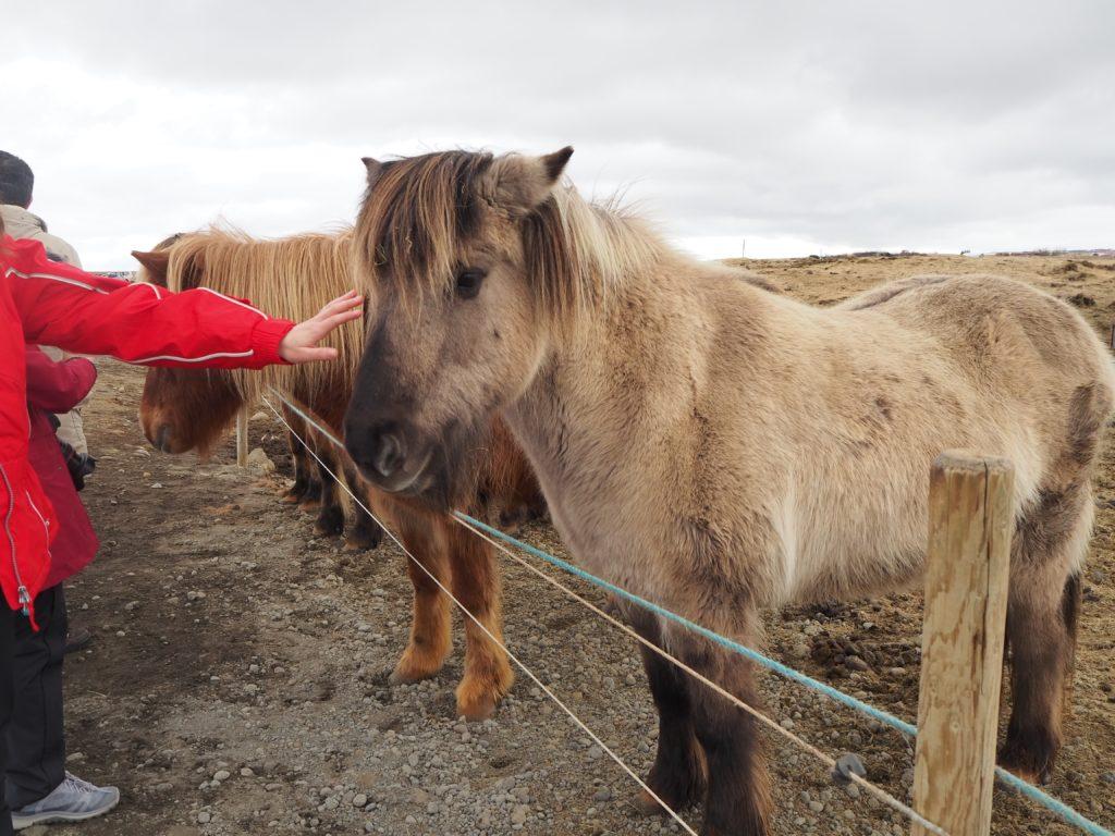 アイスランド、ゴールデンサークルの馬