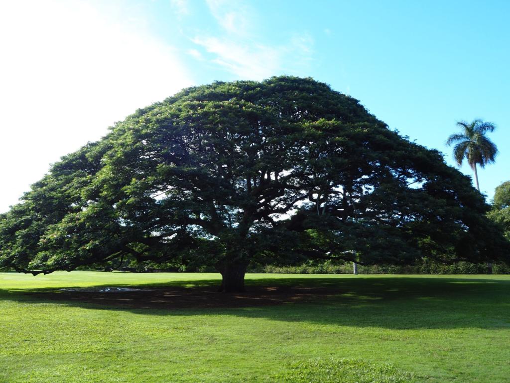モアナルアガーデンパークのこの木なんの木、モンキーポッド