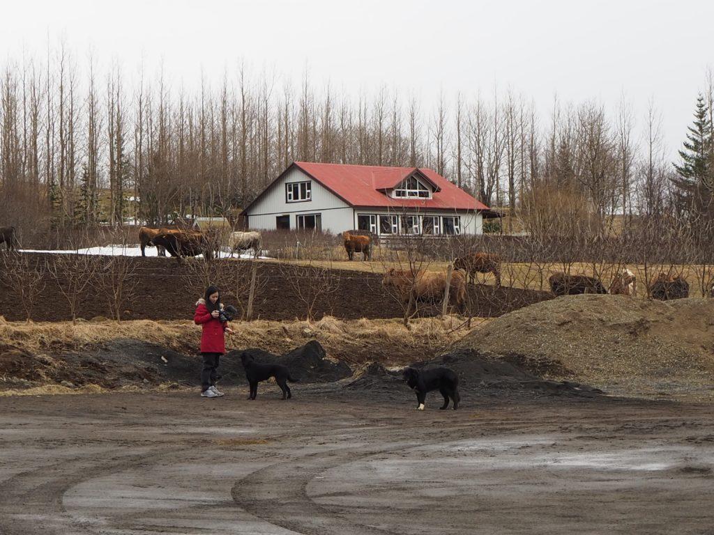 アイスランド、ゴールデンサークルのエフスティダールル・ツー Efstidalur Ⅱの牛