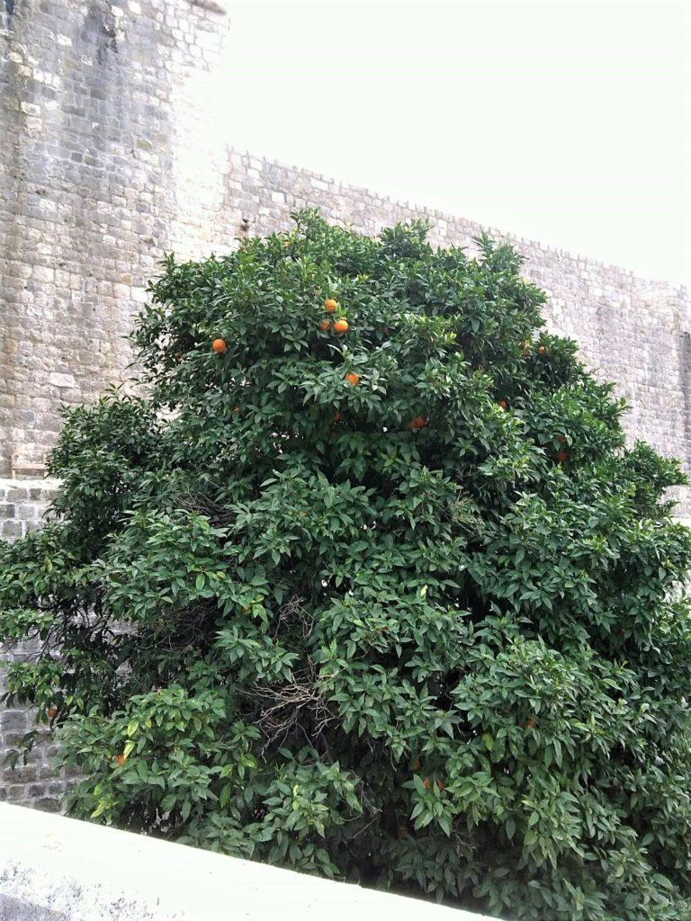 ピレ門近くのオレンジの木