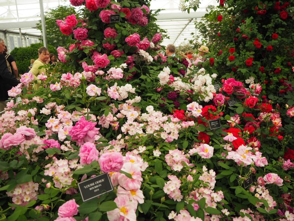 チェルシー・フラワーショー(Chelsea Flower Show)の薔薇