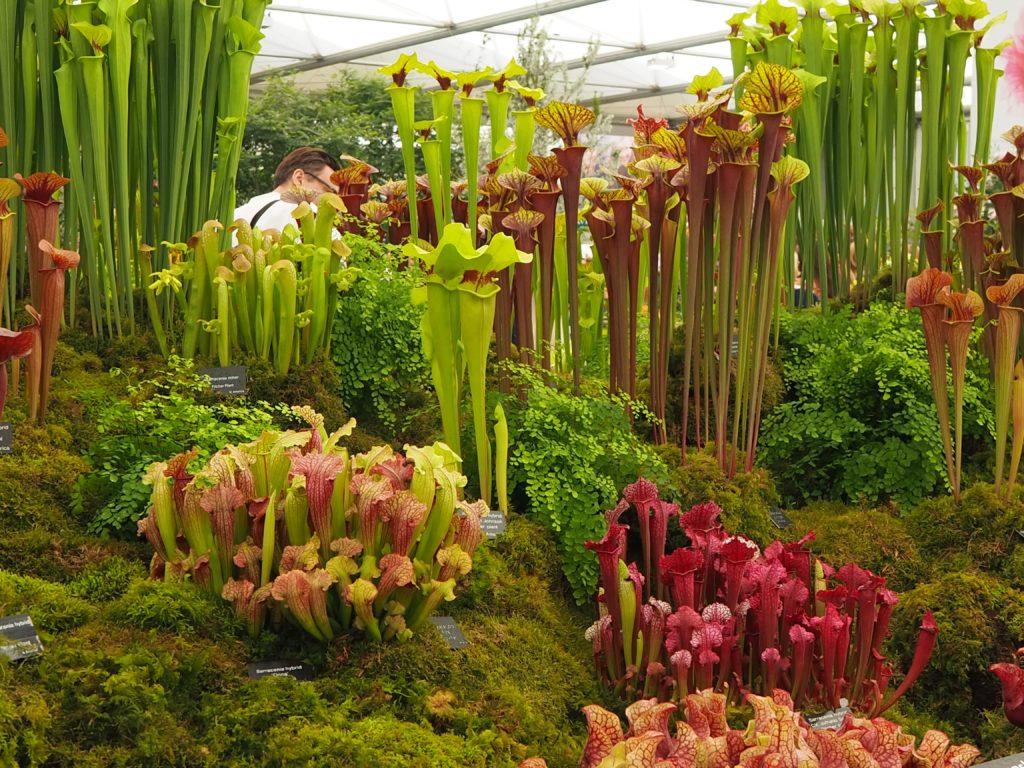 チェルシー・フラワーショー(Chelsea Flower Show)の食虫植物
