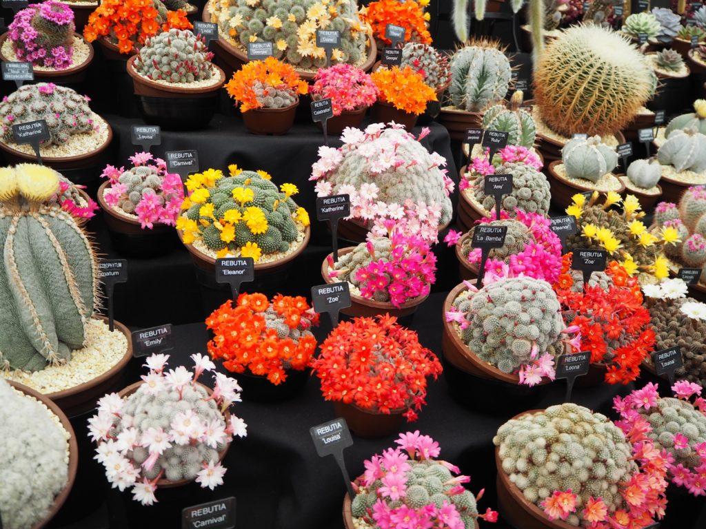 チェルシー・フラワーショーのサボテンの花