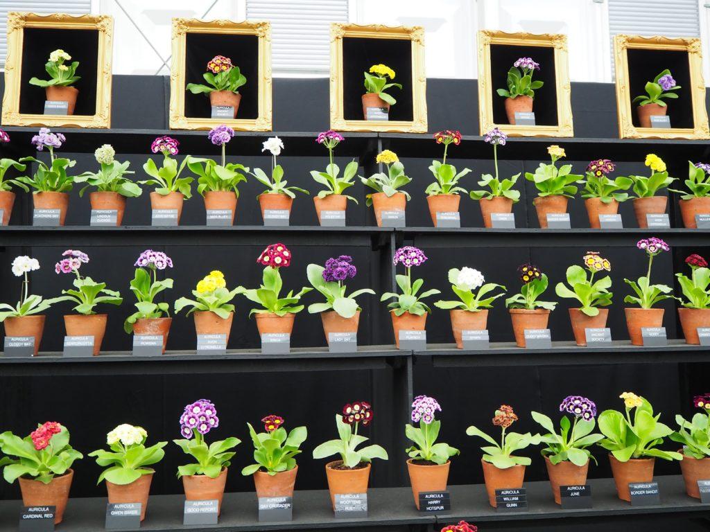 チェルシー・フラワーショー(Chelsea Flower Show)で展示されている一輪の花