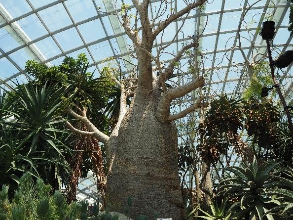 シンガポールのガーデンズバイザベイのフラワードーム内のオーストラリアバオバブの木