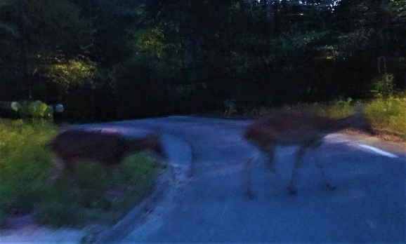 シンガポールのナイトサファリで見た鹿