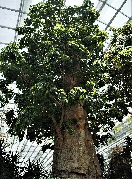 シンガポールのガーデンズバイザベイのフラワードーム内のアフリカバオバブの木