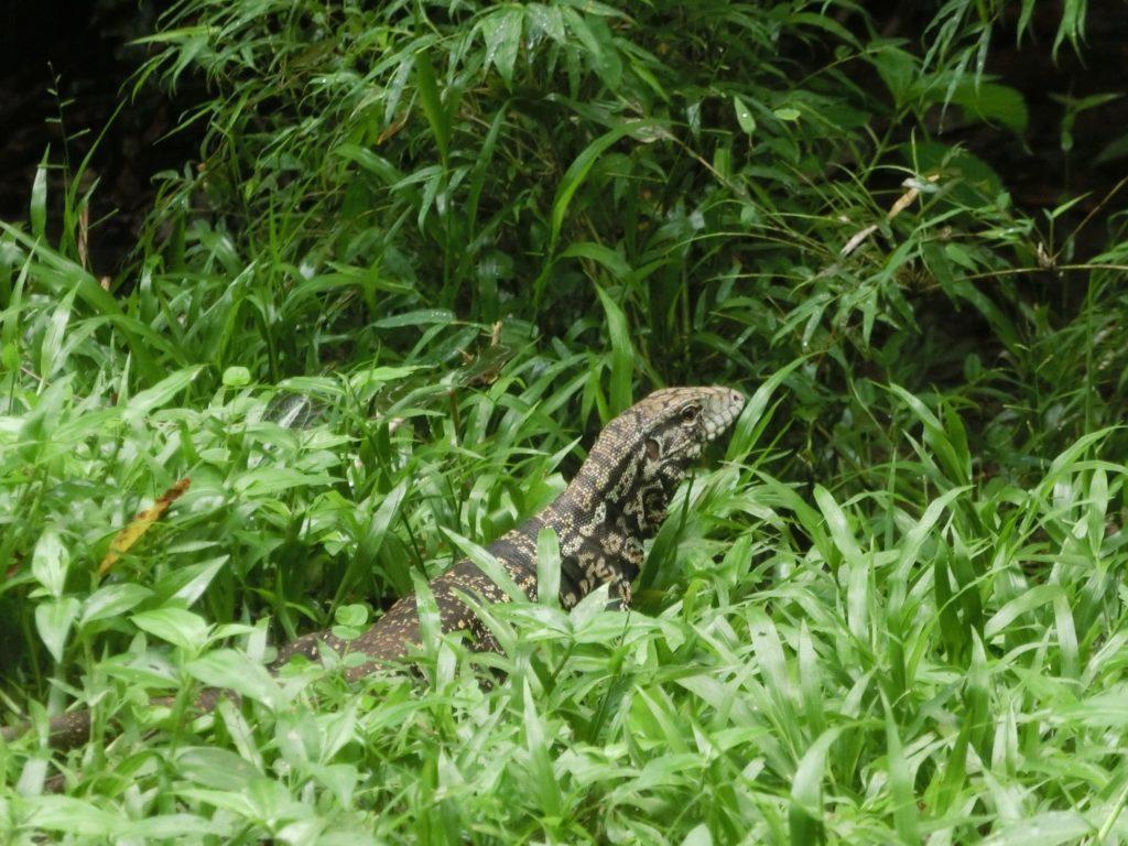 ブラジル側のイグアス国立公園にいた野生のトカゲ